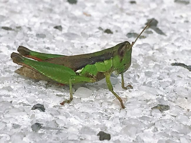 Me and my stone One Animal Animal Themes Insect Animals In The Wild No People Nature Animal Wildlife Close-up Green Color Leaf Grasshopper Day Outdoors Cold Temperature