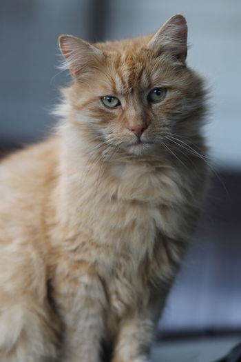 Close-up Domestic Cat Garfield Looking And Listening Orange Fluffy Ca Portrait Of My Cat Posing For Camera Lmao  Whiskers EyeEm Gallery
