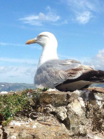 A friend of the castle Seagull Castle Walls Ancient Place
