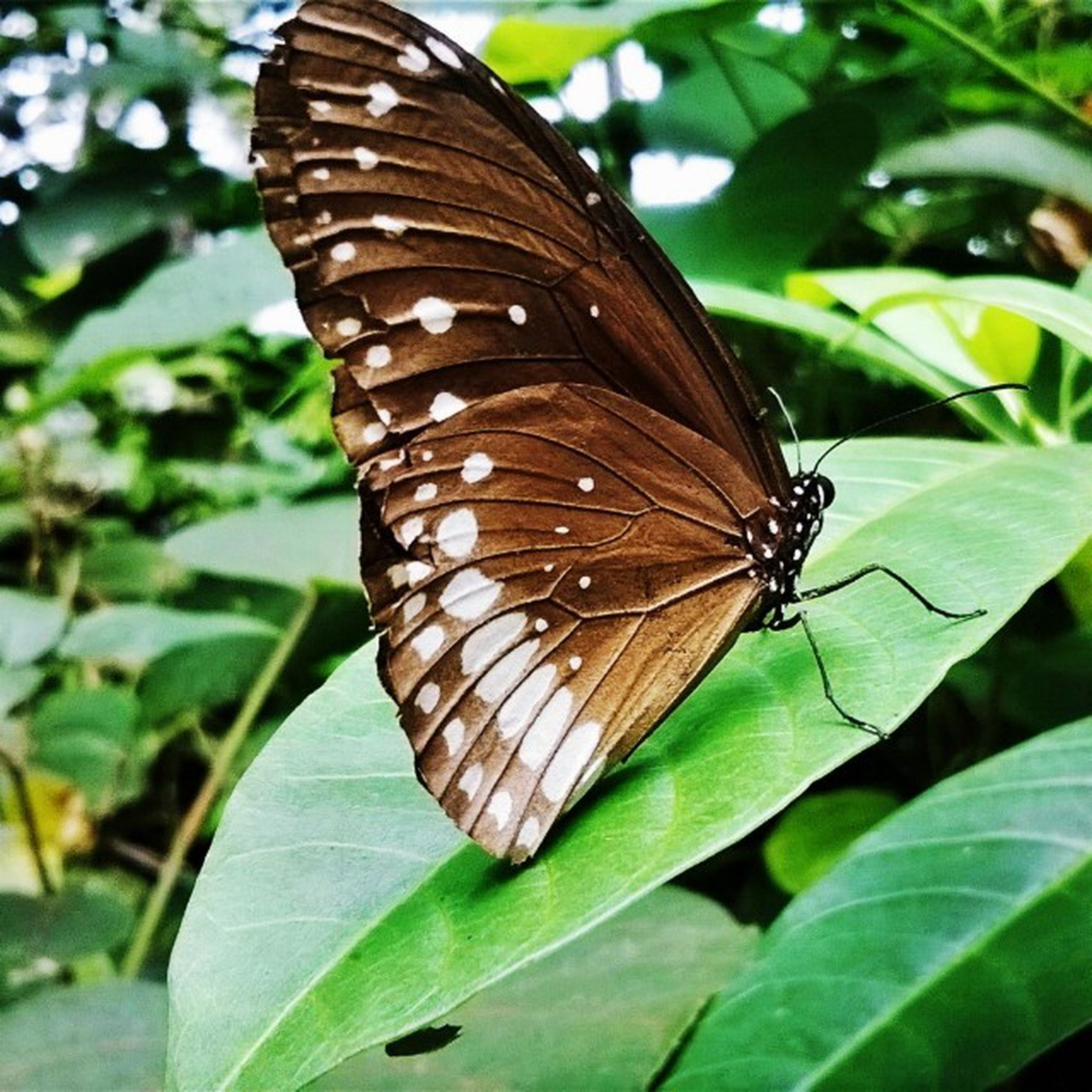 animals in the wild, animal themes, one animal, insect, wildlife, butterfly - insect, leaf, butterfly, close-up, animal wing, animal markings, focus on foreground, natural pattern, animal antenna, perching, nature, plant, outdoors, zoology, beauty in nature