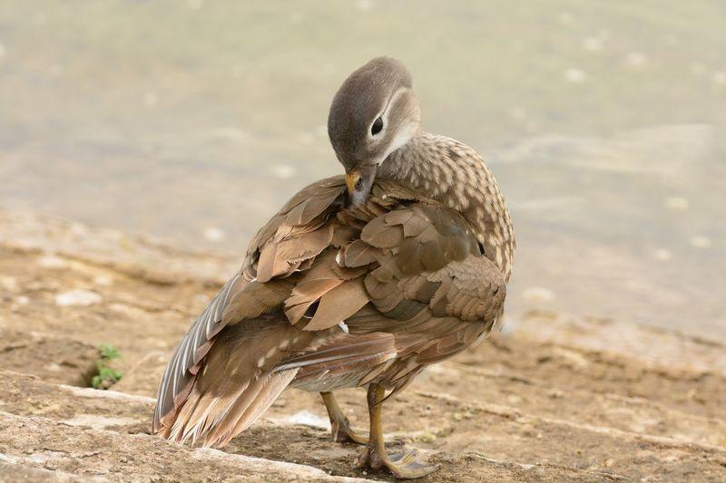Close-up of duck preening at lakeshore