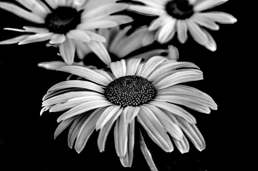 Daisies in Black and White HDR B & W Photography Beauty In Nature Black And White Black And White Hdr  Black And White Hdr  Black And White Photography Black Background Bloom Close-up Daisies Daisy Detail EyeEm Best Edits Flower Flower Head Focus On Foreground Freshness HDR High Definition Nature Ontario, Canada Petal Welcome To Black Showcase September The Week On EyeEm Monochrome Photography