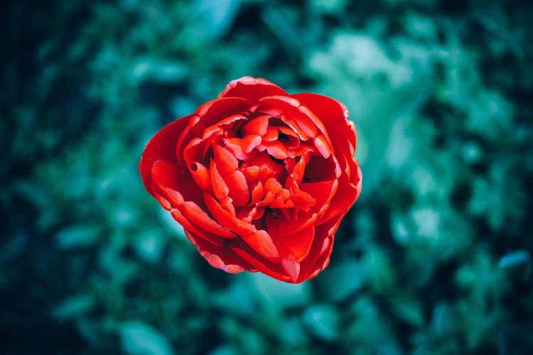 No People Outdoors Growth Rose - Flower Nature Red Fragility Inflorescence Close-up Flower Head Freshness Beauty In Nature Petal Flower Rosé Focus On Foreground Flowering Plant Plant Vulnerability  Day