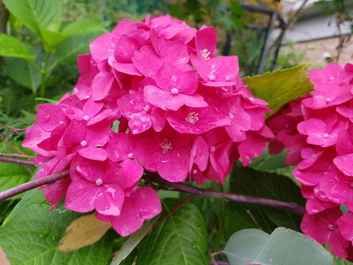 수국 Flower Head Flower Leaf Pink Color Petal Close-up Plant Hydrangea Blooming In Bloom