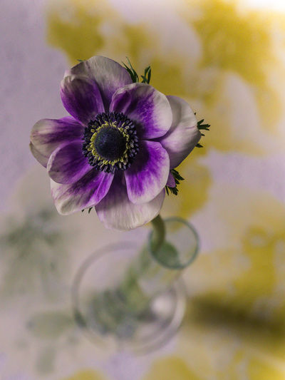 vase with anemone EyeEm Nature Lover Olympus Vase Anemone Blooming Bokeh Close-up Decorative Flower Edithnerophotography Flora Flower Flower Head Flower With Bokeh Fragility Freshness Growth Indoors  Nature No People Petal Plant Spring Flowers Vase On Table Vase With Flowe White And Purple Flower Head