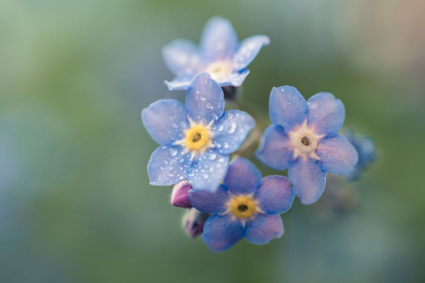 Forget Me Not 1 Beauty In Nature Blooming Blue Flowers Bokeh Bokeh Photography Close-up Day Flower Flower Head Flowers Forget Me Not Fragility Freshness Growth Macro Macro Photography Nature No People Outdoors Petal Plant
