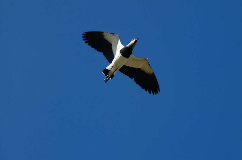 Animal Themes Bird Bluesky Flying Nature Photography No Limits Queroquero Wildlife