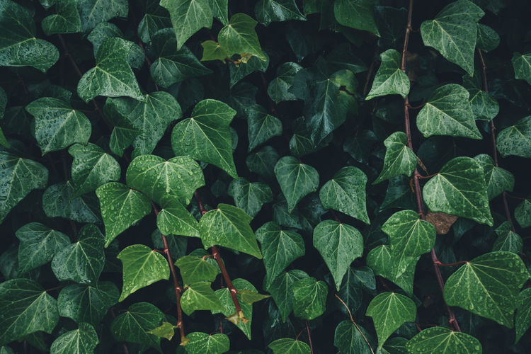 Close-up of dark green ivy leaves. Full Frame Green Color Backgrounds Plant Part Leaf Growth Nature Plant Close-up Beauty In Nature Outdoors Freshness Pattern Textured  Leaves Ivy Dark Lush Foliage Foliage Greenery