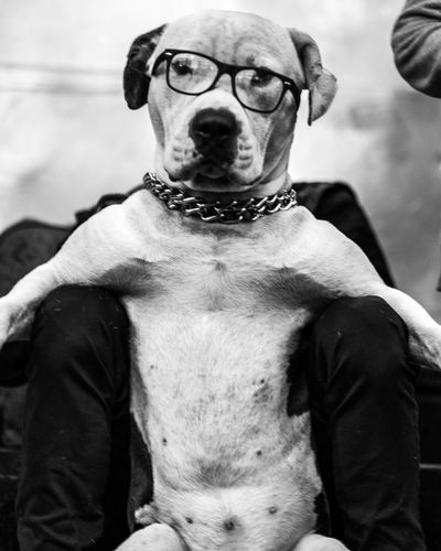 I spent a day photographing dogs in Mexico City. Black And White Photography Black And White Dog Dogs Dogs Of EyeEm EyeEm Best Shots WeekOnEyeEm Streetphotography Street Photography Street Photo Noir Public Funny Fujifilm Fujifilm_xseries Fuji Pets Canine Looking At Camera Glasses Sitting One Animal Portrait Close-up