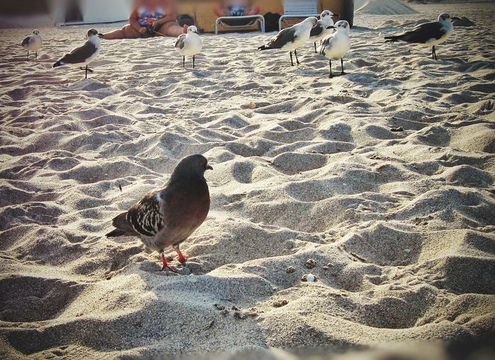 Gangster seagulls put away pigeon from the beach 😋 Miami And Me