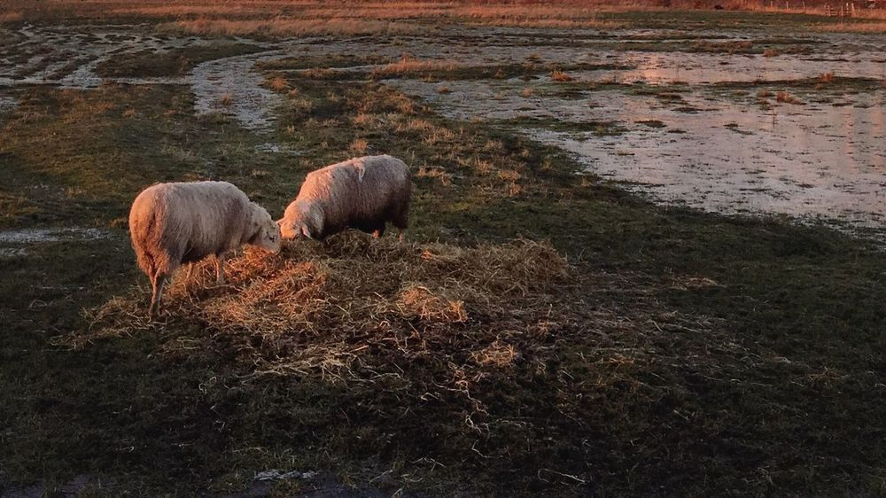 Sheep Animal Themes No People Nature Togetherness