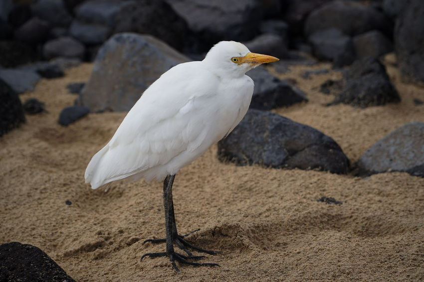 egret John Fuerteventura Animal Themes Animal Wildlife Animals In The Wild Beach Beach Piper Beak Bird Close-up Day Egret Focus On Foreground Nature No People One Animal Outdoors Perching Rock - Object Sand Seagull