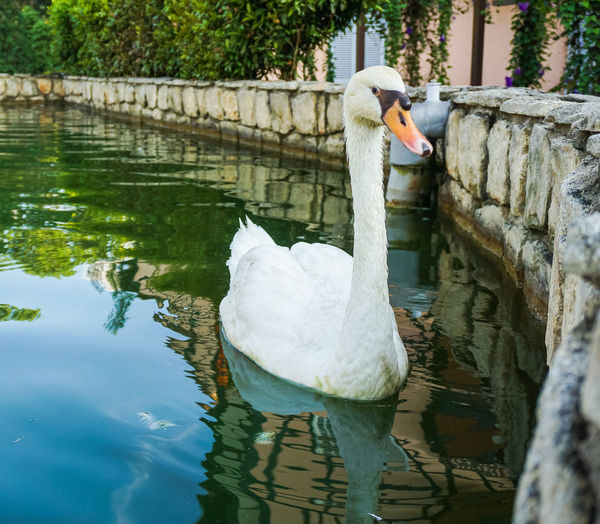 View of swan swimming in lake