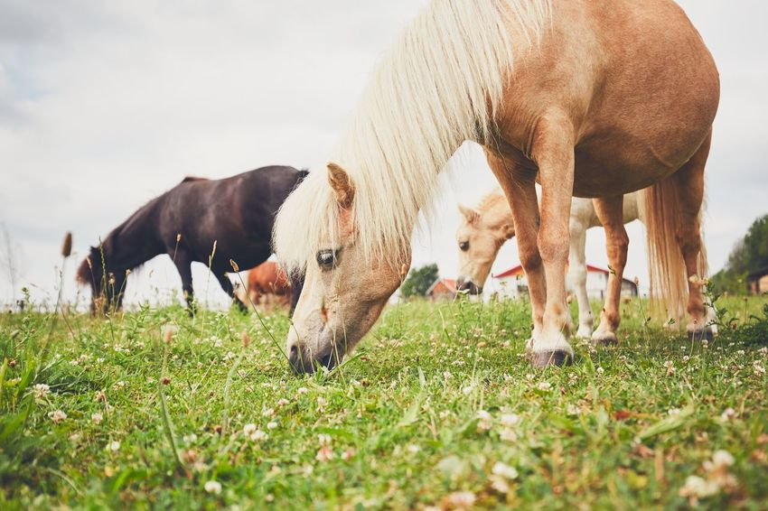 Grazing horses. Herd of the miniature horses on the pasture. Agriculture Animal Themes Countryside Cute Farm Farm Animals Farm Life Field Grass Grazing Herd Horse Livestock Mammal Mini Horse Miniature Horse Nature Outdoors Pasture Pony Ranch Ranch Life Rural Scene