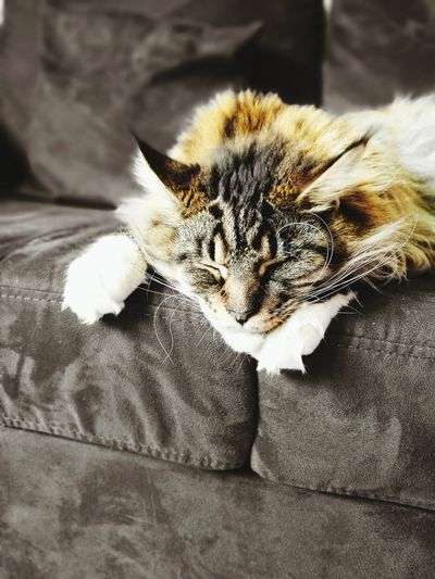 One Animal Pets Animal Themes Domestic Animals Domestic Cat Indoors  Cat Close-up Feline Animal Head  Animal At Home No People Animal Behavior Lying Down Family FAMILIA♥ Personal Perspective Caturday Cat Gatto Gato