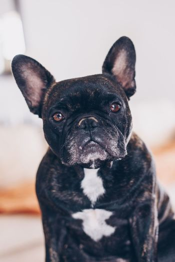 Portrait of black dog at home