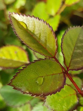 Leaf Nature Freshness Rugiadamattutina