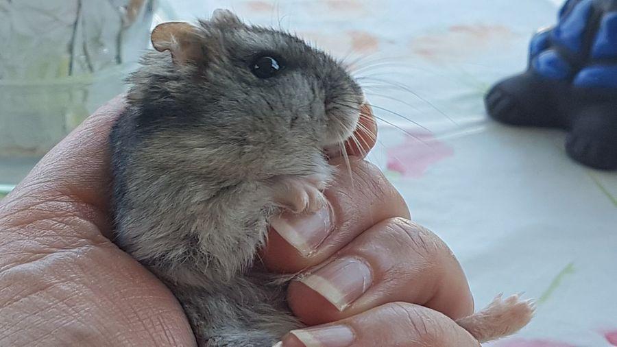 Maxy Pet Animal Themes Maxy Hamster In My Hand Cuty Pets Portrait Cute Beauty