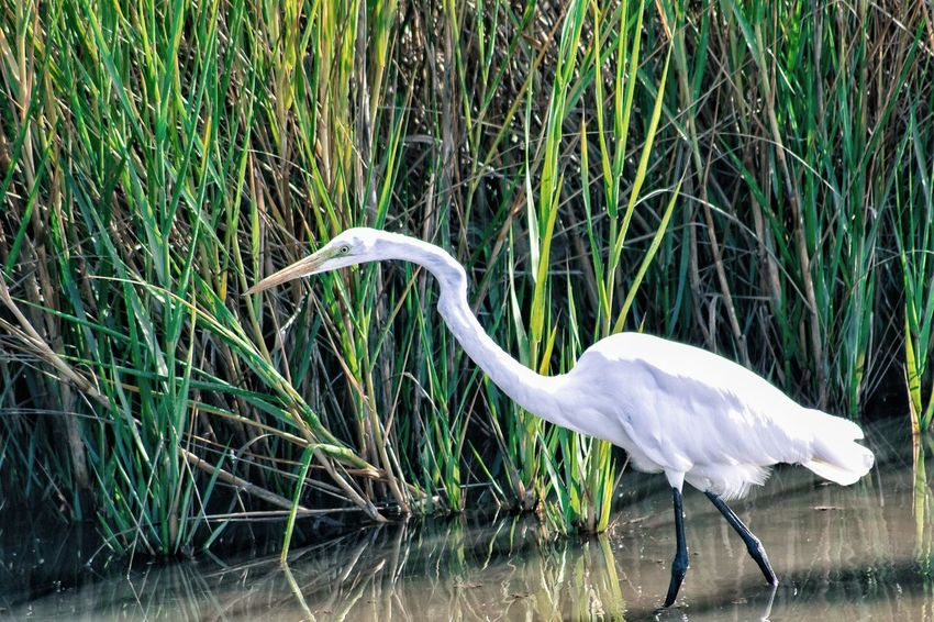 The hunt is for real. One Animal Animal Themes Animals In The Wild Bird White Color Animal Wildlife Water Grass Great Egret No People Nature Beak Crane - Bird Day Heron Egret Outdoors Egrets Egret In Lake Egret Birds