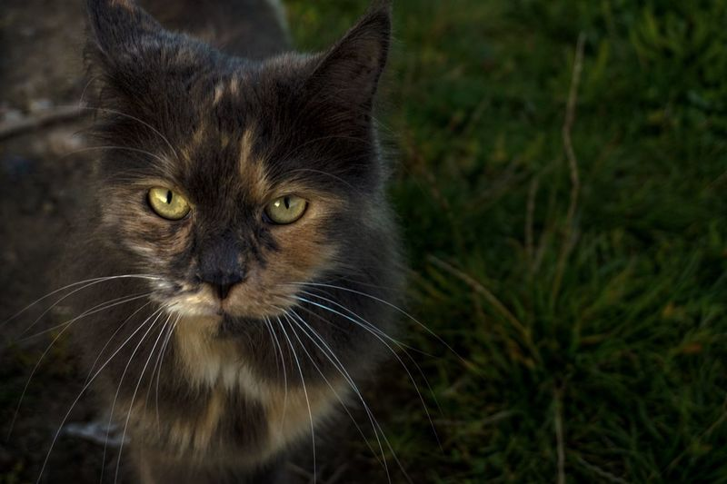 Cat Cat Feline Mammal Animal Themes Pets Animal Domestic Cat Domestic Animals Domestic One Animal Whisker Portrait Vertebrate Close-up Looking At Camera Focus On Foreground No People Animal Body Part Front View