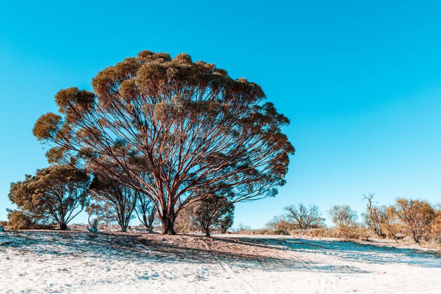 Beautiful iconic gum tree in South Australia Australia Australian Australian Landscape Nature South Australia Blue Clear Sky Environment Land Landscape Mallee Outdoors Sand Scenics Scenics - Nature Sky Tree