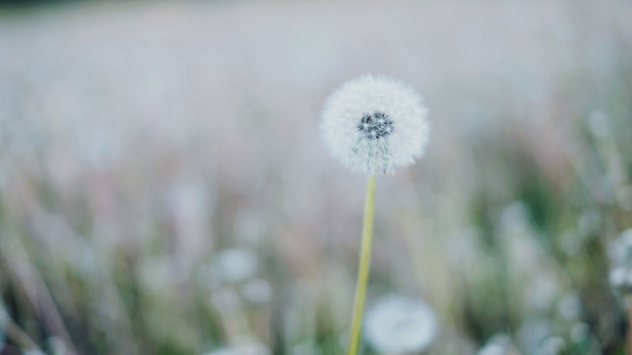 flower, dandelion, growth, fragility, nature, plant, freshness, beauty in nature, white color, botany, softness, selective focus, focus on foreground, wildflower, close-up, uncultivated, outdoors, flower head, day, no people