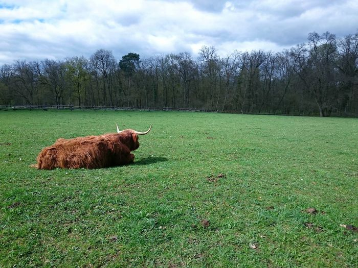 EyeEm Animal Lover Grass Grassland Cows Cattle Animals In The Wild Animal Photography Nature Nature Photography Naturelovers Natural Light No Edit/no Filter Spring Springtime Spring Has Arrived Green Things I Like Showcase April Highland Cattle Kyloe HighlandCows Highland Cows Highlandcattle Scottish Cattle Exploring Style