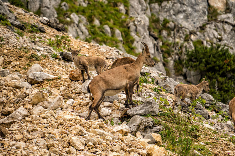 Alpine ibex with cubs Alpine Ibex Capra Ibex Steinbock Ibex Cubs  Animal Mammal Animal Themes Rock Animal Wildlife Solid Rock - Object Animals In The Wild No People Group Of Animals Nature Day Vertebrate Full Length Two Animals Outdoors Land Standing Side View Herbivorous Formation