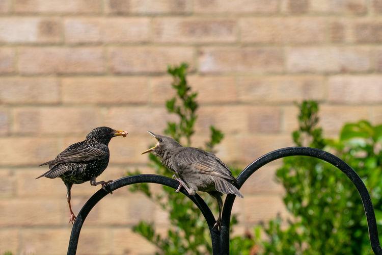 Juvenile starling, sturnus vulgaris, demanding food from the adult bird