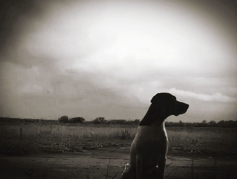Hanging Out Black & White Stillstandingstrong Photography With Heart My Boy Hunting Dog Gsp Troubled Sky Cloud_collection  Darkness And Light Dark Skies Grey Sky Shades Of Grey Wide Open Spaces Best Friend German Shorthaired Pointer Birddog Upland Bird Hunting  Pointer Sporting Dog