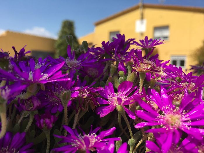 Somni? Pensament? Flower Fragility Purple Beauty In Nature Nature Growth Building Exterior Plant House Rural Scene Rural Yellow