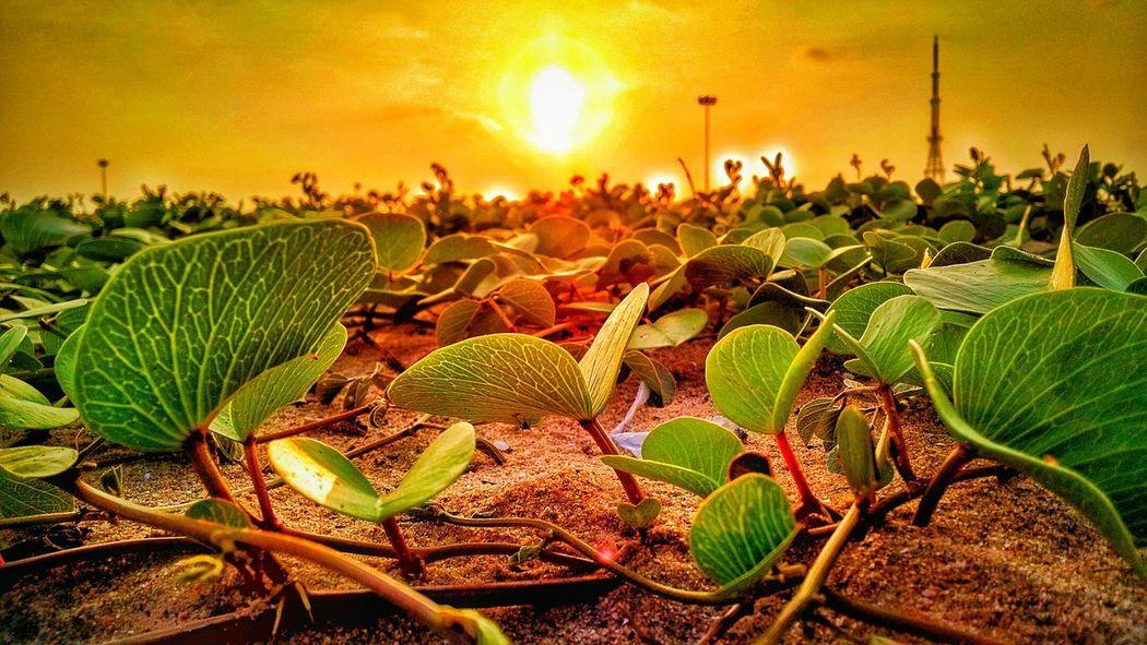 Plants and weeds .. Plants 🌱 Tamilnadu Sunset Mobilephotography Dusk Beachphotography Tadaa Community EyeEm Masterclass Moto X Golden Hour