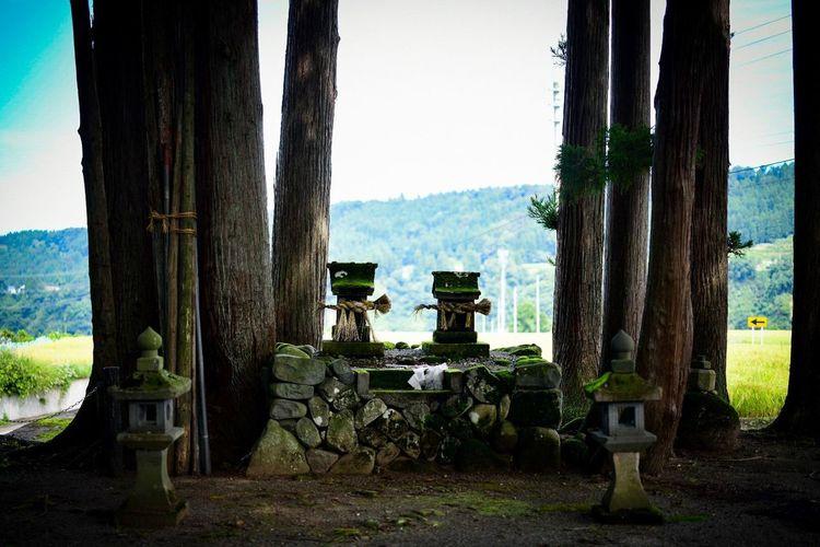 邦画の世界に入った感じが、なんとも好きだ。 Shrine Shinto Shrine Nature No People Day Plant Sky Tree Outdoors Tree Trunk Trunk Clear Sky Land Growth Field Group Sunlight Built Structure Architecture Architectural Column