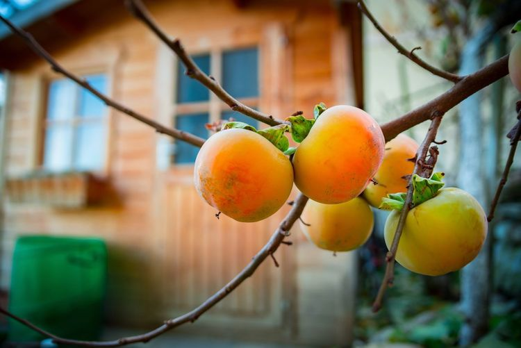 Close-up of persimmons growing on tree by house