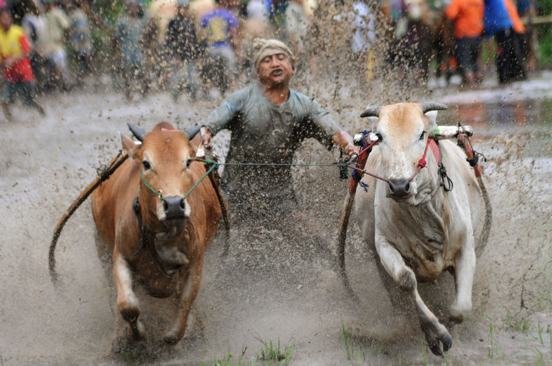 Man Riding Ox Cart In Puddle During Rainy Season