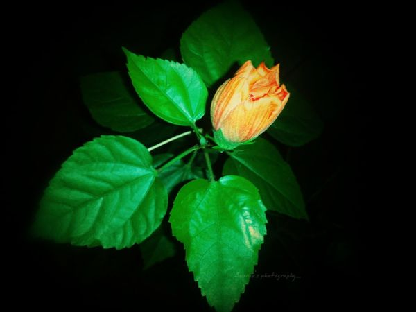 Hello World Check This Out Hibiscus 🌺 Hibiscus Flower Nightphotography Darkness And Light Leaf Green Color Nature Black Background Close-up No People Beauty In Nature Night Outdoors Like4like EyeEm Best Shots Likeforlike Green Color Flower Head Beauty In Nature The Week On Eye Em
