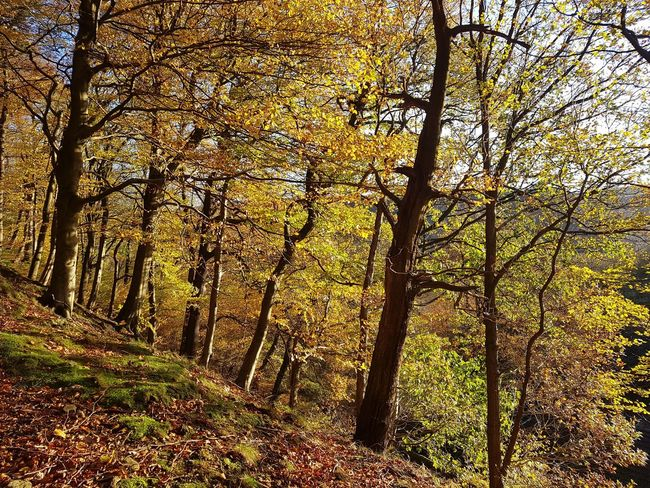 Autumn Low Angle View Nature Tree Full Frame Day No People Beauty In Nature Growth Forest Tranquility Tree Trunk Outdoors Backgrounds Branch Sky Mytholm Eaves Wood Calderdale WoodLand Growth Tree Sunlight Nature Yorkshire