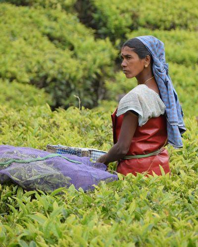 Serious female farmer plucking tea leaves