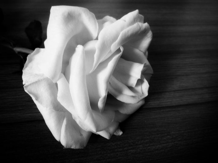 Nature Flower Growth No People Beauty In Nature Close-up Prayroom Indoors  Blackandwhite Flower Head Rose Flower Roses Black & White Bw_collection Bw_lover Blackwhite