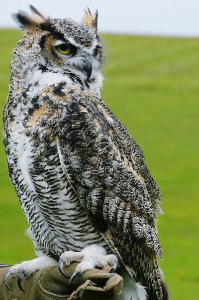 Birds Of Prey Falconry Wildlife Photography EyeEm Birds Bird Photography Birdwatching Hunter Owl EyeEm Best Shots Taking Photos