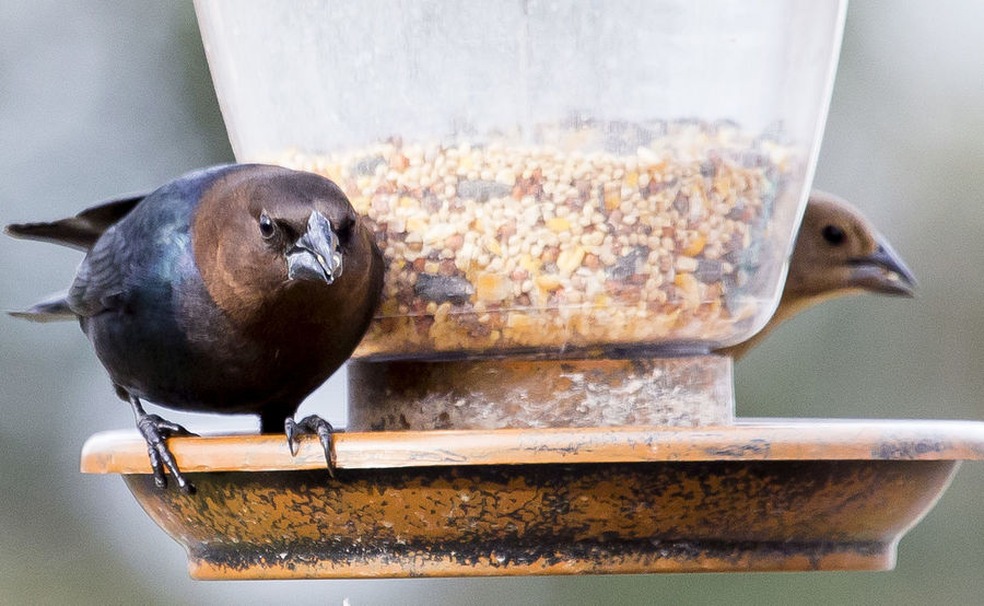 Red-Headed Cowbird Animal Themes Animal Wildlife Animals In The Wild Bird Bird Feeder Close-up Cowbird Day Focus On Foreground Food Nature No People One Animal Outdoors Perching