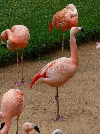 Animal Themes Animal Wildlife Animals In The Wild Bird Coral Colored Day Flamingo Foraging Nature No People Outdoors Pink Color Standing