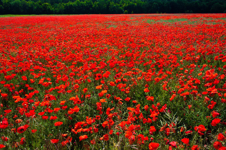 Field of Poppies Poppies In Bloom Beauty In Nature Blooming Day Field Flower Flower Head Flowerbed Fragility Freshness Growth Landscape Nature No People Outdoors Petal Plant Poppies  Poppies Blooming Poppies Field Red Rural Scene Springtime Tranquility Vibrant Color First Eyeem Photo