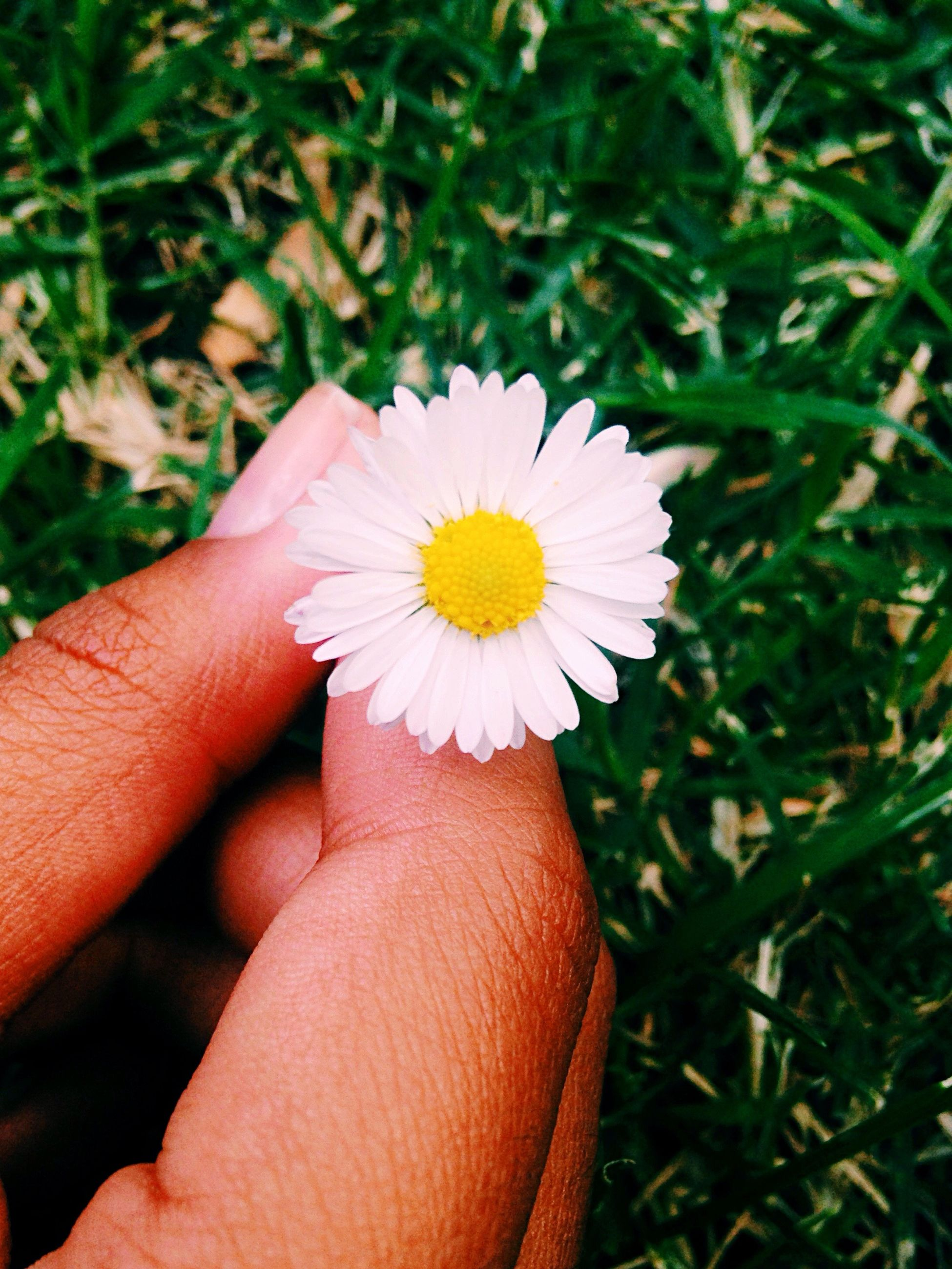 person, flower, holding, fragility, petal, flower head, freshness, human finger, personal perspective, part of, single flower, daisy, unrecognizable person, cropped, white color, close-up, pollen