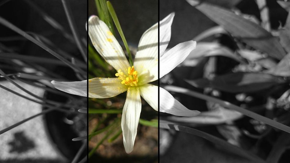 Flower Petal Flower Head Plant Close-up Blossom Yellow Zephyranthes Candida Nature Botany Fragility