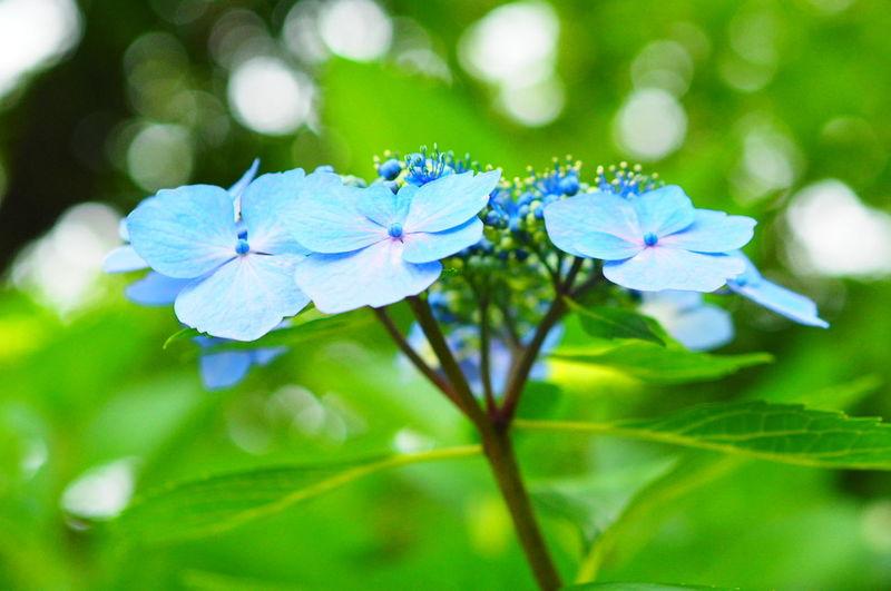 梅雨入りしましたー あじさい 紫陽花 梅雨 花 Flowers Hygrangea 玉ボケ