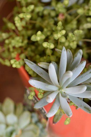 More Succulents! Green Plants Springtime Potplants Macro Urban Gardening
