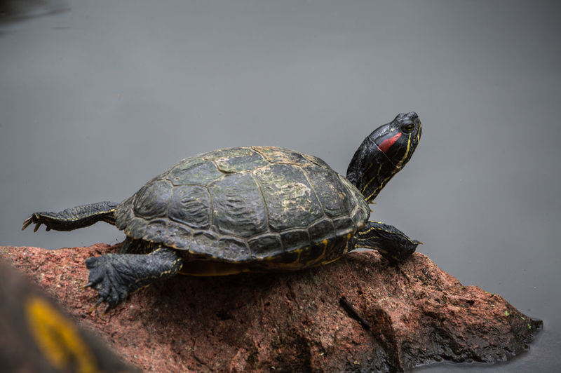 turtle laying on a rock