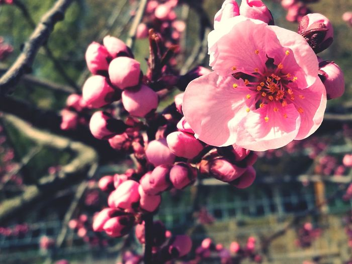Flower Pink Color Nature Freshness Fragility Petal Beauty In Nature Flower Head Close-up Growth Outdoors No People Springtime Tree Plant Spring Has Arrived EyeEm Nature Lover Spring Flowers EyEmNewHere HuaweiP9 HuaweiP9Photography Mobilephotography Millennial Pink