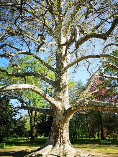 Plane Tree Tree Branch Tree Trunk Sky Landscape Single Tree Lone